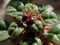 amaranthus_pumilus