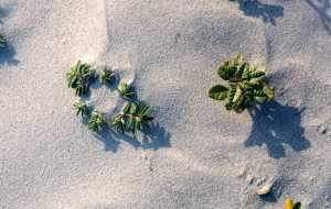 beach plant closeup (1)