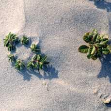 beach plant closeup